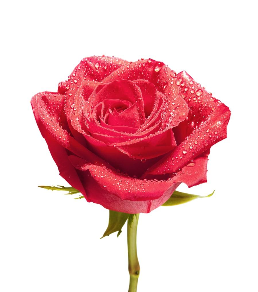Pasadena roses for parade car